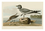 Fork-Tailed Gull Láminas por John James Audubon