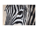 Zebra Eyes Poster di Sarah Stribbling