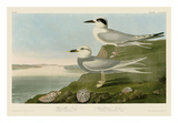 Havell's Tern & Trudeau's Tern Art par John James Audubon