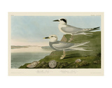 Havell's Tern & Trudeau's Tern Poster von John James Audubon
