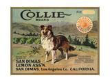 Collie Brand - San Dimas, California - Citrus Crate Label Posters tekijänä  Lantern Press