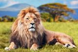 Lion Poster von  Lantern Press
