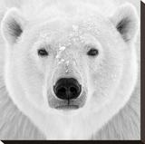 Ours polaire Toile tendue sur châssis par  PhotoINC Studio