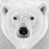 Ours polaire Affiches par  PhotoINC Studio