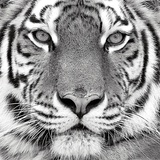 Tiger Prints by  PhotoINC Studio