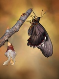Birth of a Swallowtail Photographic Print by Jimmy Hoffman