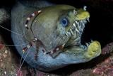 Viper Moray and Boxer Shrimp Fotografie-Druck von Cédric Péneau