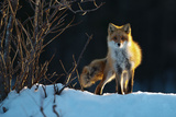 Red Fox Photographic Print by Sanin Alexandr