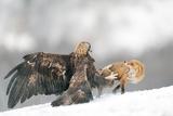 Golden Eagle and Red Fox Lámina fotográfica por Yves Adams