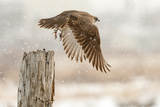 Flight Against the Snowstorm Stampa fotografica di Osamu Asami