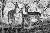Awesome South Africa Collection B&W - Impalas Family Fotografisk tryk af Philippe Hugonnard