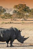 Awesome South Africa Collection - Black Rhinoceros and Savanna Landscape at Sunset I Fotografisk tryk af Philippe Hugonnard