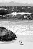 Awesome South Africa Collection B&W - Penguin at Boulders Beach Opspændt lærredstryk af Philippe Hugonnard