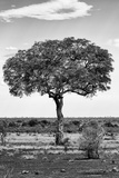 Awesome South Africa Collection B&W - Portrait of an Acacia Tree II Fotografisk trykk av Philippe Hugonnard