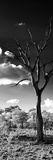 Awesome South Africa Collection Panoramic - Dead Tree in the Savannah B&W Fotografisk tryk af Philippe Hugonnard