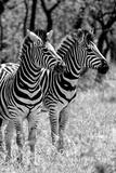 Awesome South Africa Collection B&W - Two Burchell's Zebras II Reproduction photographique par Philippe Hugonnard