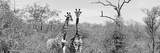 Awesome South Africa Collection Panoramic - Pair of Giraffes B&W Fotografie-Druck von Philippe Hugonnard