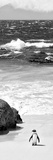 Awesome South Africa Collection Panoramic - Penguins on the Beach B&W Stampa fotografica di Philippe Hugonnard