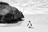 Awesome South Africa Collection B&W - Penguin at Boulders Beach II Lámina fotográfica por Philippe Hugonnard