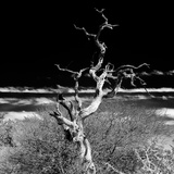 Awesome South Africa Collection Square - Dead Acacia Tree II B&W Fotografie-Druck von Philippe Hugonnard