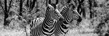 Awesome South Africa Collection Panoramic - Two Burchell's Zebra Portrait B&W Fotografisk tryk af Philippe Hugonnard