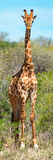 Awesome South Africa Collection Panoramic - Giraffe Portrait Fotoprint av Philippe Hugonnard