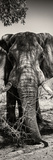 Awesome South Africa Collection Panoramic - Elephant Portrait II Fotografie-Druck von Philippe Hugonnard