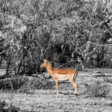 Awesome South Africa Collection Square - Impala in Savannah B&W Photographic Print by Philippe Hugonnard