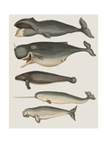 Five Vintage Whales Premium Giclee Print by Fab Funky