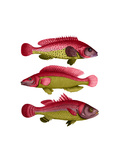 Red and Yellow Fantasy Fish Trio Premium Giclee Print by Fab Funky