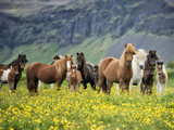 Icelandic Horses VII Fotografisk tryk af  PHBurchett