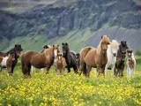 Icelandic Horses VII Fotografie-Druck von  PHBurchett