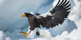 Steller's Sea-Eagle (Haliaeetus Pelagicus) Landing on Pack Ice, Hokkaido, Japan, February Fotografie-Druck von Wim van den Heever