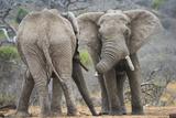 African Elephant (Loxodonta Africana) Two Bulls, Chyulu Hills, Kenya Fotografie-Druck von Wim van den Heever