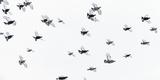 Black Grouse (Tetrao - Lyrurus Tetrix) Flock Flying in Snow, Suomussalmi, Finland, January Fotografie-Druck von Markus Varesvuo