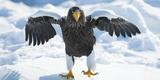 Steller's Sea-Eagle (Haliaeetus Pelagicus) Standing on Pack Ice, Hokkaido, Japan, February Fotografie-Druck von Wim van den Heever
