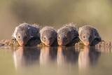 Banded Mongoose (Mungos Mungo) Drinking Lámina fotográfica por Ann & Steve Toon