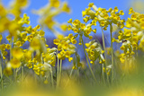 Cowslips (Primula Veris) in Flower, Norfolk, England, UK, April Photographic Print by Ernie Janes
