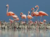 Caribbean Flamingo (Phoenicopterus Ruber) Adults Guarding Chick Fotografisk trykk av Claudio Contreras
