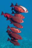 Big-Eye Fish (Priacanthus Hamrur). Egypt, Red Sea Reproduction photographique par Georgette Douwma