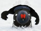 Male Black Grouse (Tetrao - Lyrurus Tetrix) in Snow, Utajarvi, Finland, May Fotografie-Druck von Markus Varesvuo