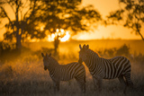 Plains Zebra (Equus Quagga) at Sunset, Savuti Marsh, Botswana Fotografisk tryk af Wim van den Heever