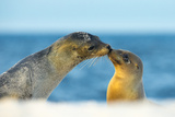 Galapagos Sea Lion (Zalophus Wollebaeki) Mother and Young Touching Noses, Galapagos Islands, May Photographic Print by Ben Hall