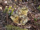 Two Capercaillie (Tetrao Urogallus) Chicks, Vaala, Finland, June Fotografie-Druck von Markus Varesvuo
