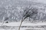 Willow Grouse (Lagopus Lagopus) Flock in Flight in Snow, Utsjoki, Finland, October Fotografie-Druck von Markus Varesvuo