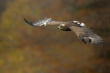 Steppe Eagle (Aquila Nipalensis) in Flight Against Autumn Colours, Czech Republic, November Photographic Print by Ben Hall