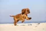 Cavalier King Charles Spaniel, Puppy, 14 Weeks, Ruby, Running on Beach, Jumping Impressão fotográfica por Petra Wegner