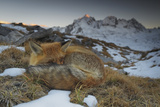 Close-Up of a Red Fox (Vulpes Vulpes) Resting Fotografie-Druck von Benjamin Barthelemy