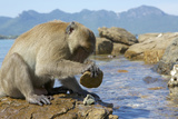 Adult Male Burmese Long Tailed Macaque (Macaca Fascicularis Aurea) Using Stone Tool to Open Oysters Fotografie-Druck von Mark Macewen