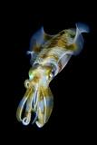 Portrait of Bigfin Squid (Sepioteuthis Lessoniana) Hovering Fotografie-Druck von Alex Mustard